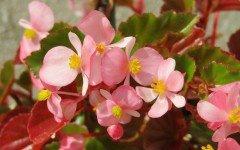 Begonia ASOCOA